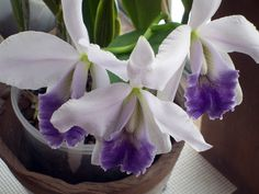 Laeliocattleya Indigo Dawn 'Blue Bird' x Mood Indigo 'Darkest'
