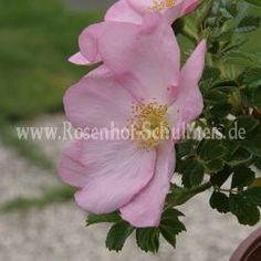Dagmar Hastrup # 4 - light pink - Rosa_rugosa - Moderne_Rosen - Rose - Rose of Schultheis