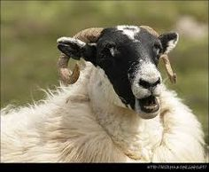 Image result for Isle of Skye, Scotland with goat