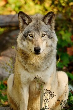 Sitting Pretty by Joshua McCullough - Wolf - Tiere Wolf Photos, Wolf Pictures, Animal Pictures, Beautiful Creatures, Animals Beautiful, Cute Animals, Wild Animals, Wolf Spirit, My Spirit Animal