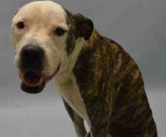 SUPER MEGA URGENT!!! Brooklyn Center ***POSSIBLE SPINAL INJURY OR NERVE DAMAGE - NEEDS RESCUE TODAY*** BARRY – A1054518 ***POSSIBLE SPINAL INJURY OR NERVE DAMAGE – NEEDS RESCUE TODAY*** MALE, BR BRINDLE / WHITE, AM PIT BULL TER, 2 YEARS,STRAY – STRAY WAIT, NO HOLD Reason STRAY;Intake condition UNSPECIFIE Intake Date 10/12/2015, From NY 11420, DueOut Date
