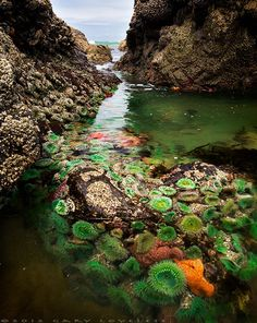 Tide pools with Green Anemones (Anthopleura xanthogrammica) and Ochre Stars (Pisaster ochraceus), near Cannon Beach, Oregon    (photo: Gary Loveless)