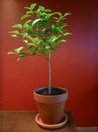 3-4 Year Old Key Lime Tree in Grower's Pot, 3 Year Warranty by Lemon Citrus Tree. $25.99. NOT AVAILABLE IN TEXAS,CALIFORNIA and ARIZONA!!!. The Foliage is Lush with Fragrant Blossoms that Soothe the Senses.. Keylime trees make a perfect patio plant, anywhere in the country.. 3' to 3' 1/2' Tall (Not Including Root System Height) Upon Receipt, Shipped in a Black Grower's Pot for No Additional Charge except for Florida.. Can be kept as a house plant. 3 Year Warranty! (...