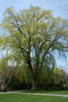 Willow trees are suitable for moist sites in full sun. They perform well in almost any climate. There are many types of willow trees for the home landscape. Learn how to grow a willow tree in this article.