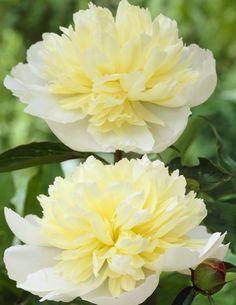 Paeonia lactiflora Laura Dessert