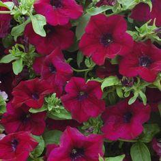 burgundy | Petunia Surfinia Burgundy (6 starter plants)