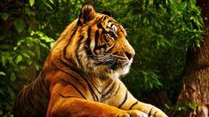 Fond d'écran hd : animal tigre