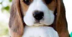 """Dogspuppiesforsalecom liked   """"I'm actually interested in the rest of this conversation"""" face Getting a dog or a puppy as a new addition to your family is an excellent decision! You're adding another member that can provide lots of love and enjoyment! This is a relationship you'd want to make sure that you're doing right the first time around. You'll need to find out what makes your dog happy what are the things to look out for and basically how to give them a long and fulfilling life. This…"""