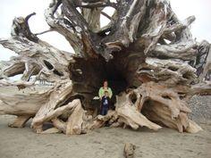 This massive tree washed up onto the beach at La Push, Washington. It's awesome!