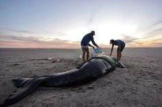 Sea kayakers connect with dying whale. Such a touching story!