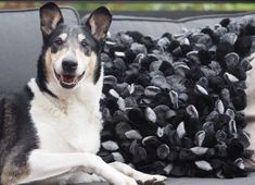 Designer Pillow, Boston Terrier, Husky, Pillows, Dogs, Animals, Animais, Animales, Animaux