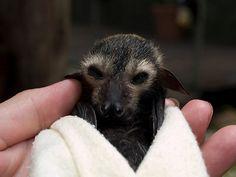 'Baby Flying Fox - Bat Reach Centre - Kuranda - Queensland - Australia' Poster by Paul Davis Cute Baby Animals, Animals And Pets, Funny Animals, Animal Babies, Strange Animals, Beautiful Creatures, Animals Beautiful, Bat Photos, Bat Images