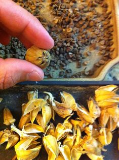 Hibiscus seeds being separated from the seed pods.