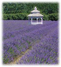 Information on Tending Lavender provided by Lavender Valley - Hood River, Oregon