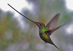 Sword-billed Hummingbird, 3rd heaviest of all hummingbirds. Jewels of Ecuador: Hummers, Tanagers & Antpittas - fieldguides