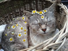 Daisies on a cat.