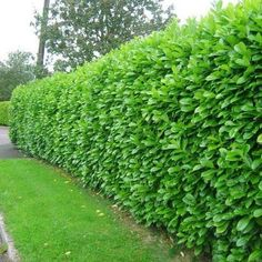 Laurel HedgeLaurel is the quickest growing evergreen shrub, so if you don't want a conifer hedge, Laurel is the quickest and cheapest way of creating an evergreen garden hedge. Laurels will also provide the most instant hedging as the taller sizes (4ft, 5ft and 6ft) are bushy and can often create an instant screen if planted close enough.