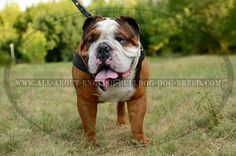 #Leather #Dog #Harness with Padded Chest Plate $45.00 | www.all-about-english-bulldog-dog-breed.com