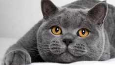 All cat breeds, whether sphynx or blue British shorthair, have distinguishable physical characteristics and personal attributes. Cat lovers reap numerous perks from cat ownership. #BlueBritish #Shorthair #Kitten Large Cat Breeds, All Cat Breeds, American Bobtail, Chat British Shorthair, Kittens Cutest, Cats And Kittens, Big Cats, Gatos British, Quiet Cat