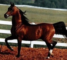 *Probat - bay stallion,  born at Blommerod, Sweden in 1975 and was later leased to Poland in exchange for the Polish bred stallion, *Algomej.  The Poles traveled to Sweden to try to buy Pohaniec but were so impressed with his son, *Probat, that he was the horse they chose to increase the blood of Comet in their herds.  He was used at stud at Janow Podlaski in 1979 - 1982 and Michalow from 1986 - 1987.  He was exported to the USA in 1987 for $1,000,000.  *Probat is the sire of National, ...
