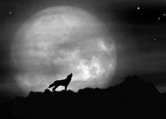 full moon with wolf howling - beautiful - wallpaper - 966 x 699 Bark At The Moon, Howl At The Moon, Beautiful Wolves, Beautiful Moon, Full Moon Pictures, Moon Pics, Shoot The Moon, Wolf Moon, New Backgrounds