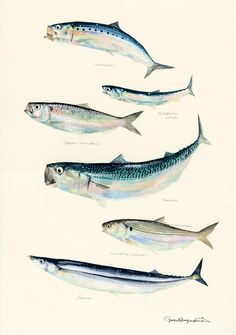 Japanese watercolor artist Yusei Nagashima paints fish, and only fish - PLAIN Magazine Fish Artwork, Japanese Watercolor, Nature Posters, Fish Drawings, Kunst Poster, Fish Print, Landscape Pictures, Watercolor Animals, Japanese Artists
