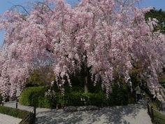紅しだれ桜〜妙心寺・退蔵院|おじゃかんばん『フォトブラ☆散歩物語』