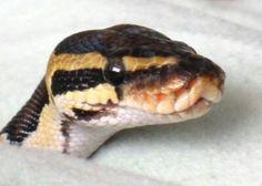 Look hooww cute its wittle face is!!!! A cute ball python DEM EYES