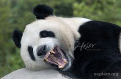 Giant panda yawning and showing its impressive teeth; Wolong Reserve, China . Even though 99% of a pandas diet consists of bamboo, the species is actually considered a carnivore. © Lisa & Mike Husar/TeamHusar.com Photo from explore.org
