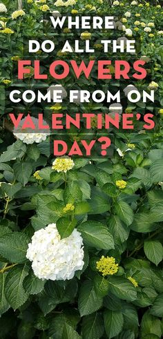 Join me at El Cultivo Casa Loma in Santa Elena, Colombia where I discover just where exactly all those FLOWERS come from on Valentine's Day?