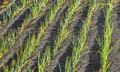 Обработка лука нашатырным спиртом обеспечит вам защиту растения от болезней и вредителей. Для этого вам необходимо развести на 10л воды...