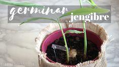 Germinar jengibre Beef, Desserts, Diy, Food, Patio, Youtube, Vegetables Garden, Vegetables, Container Gardening