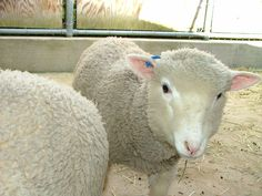 40 Best sheep breeds to raise images in 2018 | Sheep, Sheep