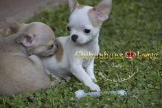 chihuahuas posesivos