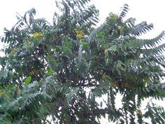 Mindanao, All Plants, Philippines, Bugs, Butterflies, Flora, Garden, Pictures, Cagayan De Oro