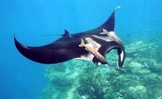 Swimming with Manta Rays in Fiji | lifesgreatadventures.com