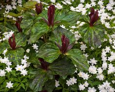 Trillium sessil surrounded by white anemones in spring