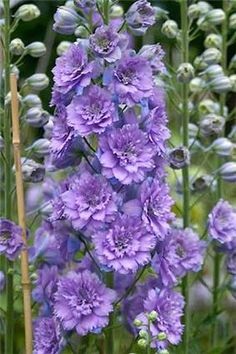 Delphinum 'Highlander Blueberry Pie' - new double delphinium from Scotland