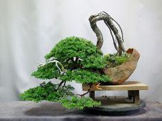 hemlock- Amemiya Gardens ☆ ~ bonsai, Yamano grass, Ceramics ~ ☆ hobby ... even at work.hemlock