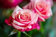 Rose by Aziz Nasuti on