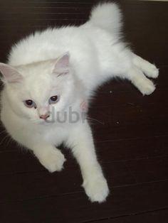 Persian cat for adoption dubizzle