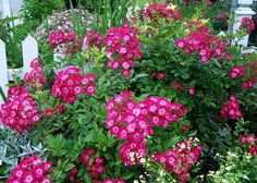 <3 Marjorie Fair .. polyantha.  Plant 2 or 3 in a grouping.  Also called Red Ballerina.
