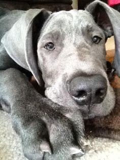 My name is Capone. I Like Dogs, Great Dane Dogs, Big Dogs, Animals And Pets, Cute Animals, Blue Great Danes, Cane Corso Dog, Mans Best Friend, Dog Friends