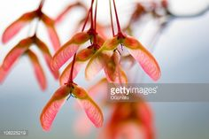 Stock Photo : Maple tree helicopter seeds
