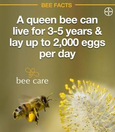 """Honey bees are critically important to many aspects of agriculture, urban and rural landscapes as well as backyard gardens - and Bayer supports efforts to promote bee health. Monsanto """"Round-Up"""" main cause of bee death. Thank God queens lay so many eggs. Hives And Honey, Honey Bees, Bee Facts, Raising Bees, Buzz Bee, I Love Bees, Backyard Beekeeping, Bees And Wasps, Bee Friendly"""