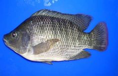 #1 How to Start Tilapia Farming   BEST Selling #1 Fish Farm Tank Tilapia Fish Farming, Aquaponics Fish, Aquaponics System, Hydroponics, Farmers Only, Types Of Fish, Livestock, Hydroponics System, Hydroponic Gardening
