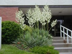 Yucca filamentosa - Adam's needle evergreen with creamy white blooms June to July, 4 to 8 feet high, full sun, drought tolerant, no serious insect or disease problems. Coastal Cottage, Coastal Homes, Coastal Decor, Coastal Curtains, Coastal Entryway, Coastal Rugs, Coastal Farmhouse, Coastal Living, Modern Coastal