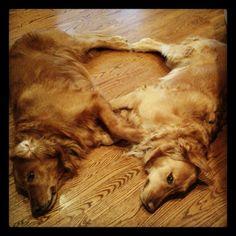 Best buddy Golden Retrievers making heart shape.