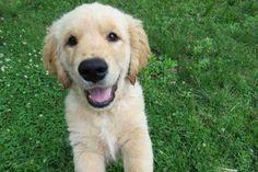 Why Do Golden Retrievers Smile? - Retriever Advice - Golden Retrievers, Labrador Retrievers, Chesapeake Bay Retriever, Flat-Coated Retriever, Curly-Coated Retriever, Nova Scotia Duck Tolling Retriever Golden Retriever Cost, Purebred Golden Retriever, Female Golden Retriever, Golden Retriever Rescue, Retriever Puppy, Golden Retrievers, Labrador Retrievers, Dog Breeds List, Large Dog Breeds