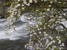 Pacific Dogwoods Over the Merced River Yosemite National Park California